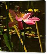 Lotus Flower At The West Lake Canvas Print