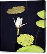Lotus Flower- Gungarre Billabong V2 Canvas Print