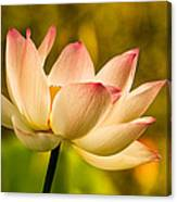 Lotus In Morning Light Canvas Print