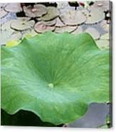 Lotus Leaf Canvas Print