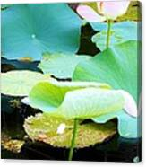 Lotus Lilly Pond Canvas Print