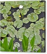 Lotus Pads Canvas Print