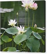 Lotus Patch Canvas Print