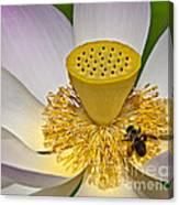 Lotus Pollinator Canvas Print