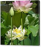 Lotuses in Bloom Canvas Print