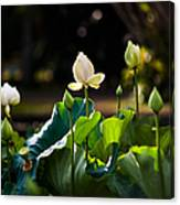 Lotuses In The Evening Light Canvas Print