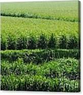Louisiana Cane Field Canvas Print