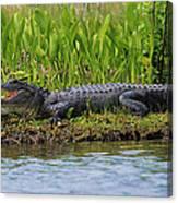 Louisiana Gator Canvas Print