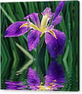 Louisiana Iris Canvas Print