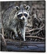 Louisiana Raccoon II Canvas Print