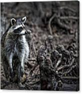 Louisiana Raccoon Canvas Print