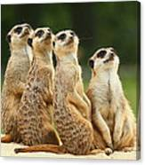 Lovely Group Of Meerkats Canvas Print