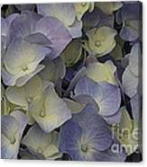 Lovely In Blue And White - Hydrangea Canvas Print