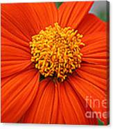 Lovely In Orange - Mexican Daisy Canvas Print