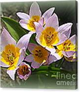 Lovely In White And Yellow - Tulips Canvas Print