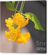 Lovely Lantana Canvas Print
