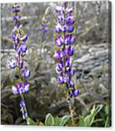 Lovely Lupines Canvas Print