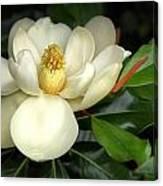Lovely Magnolia Canvas Print