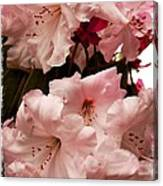 Lovely Pink Rhododendrons With Border Canvas Print