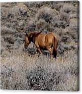 Lovely Sorrel Wild Horse In Western Nevada Canvas Print