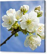 Lovely White Apple Blossoms On Branch Canvas Print