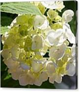 Lovely White Hydrangea Canvas Print