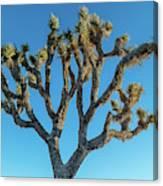 Low Angle View Of Joshua Tree, Joshua Canvas Print