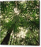 Lowland Tropical Rainforest Fan Palms Canvas Print