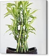 Lucky Bamboo Plant Canvas Print