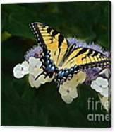 Luminous Butterfly On Lacecap Hydrangea Canvas Print