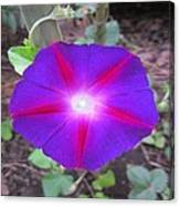 Luminous Morning Glory In Purple Shines On You Canvas Print