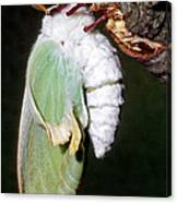 Luna Moth Actias Luna Newly Hatched Canvas Print