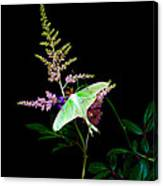Luna Moth Astilby Flower  Canvas Print
