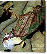 Luna Moth Emerging From Cocoon Canvas Print
