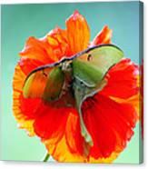 Luna Moth On Poppy Aqua Back Ground Canvas Print