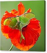 Luna Moth On Poppy Square Format Canvas Print