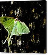 Luna Moth On Tree Canvas Print