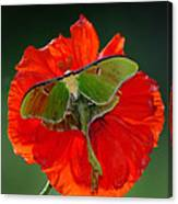 Luna Moth Orange Poppy Green Bg Canvas Print