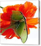 Luna Moth Poppy High Key Canvas Print