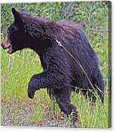 Lunging Black Bear Near Road In Grand Teton National Park-wyoming   Canvas Print