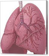 Lungs And Bronchi Canvas Print