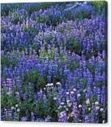 Lupine And Aster Canvas Print