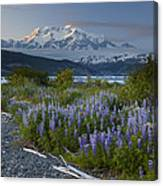 Lupine And Mount Elias Canvas Print