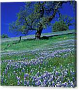 Lupine And The Leaning Tree Canvas Print