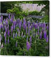 Lupine By The Fence Canvas Print