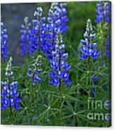Lupine Family Canvas Print