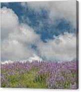 Lupine Field Under Clouds Canvas Print