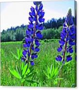 Lupine Flower Canvas Print