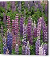 Lupine Mix Canvas Print