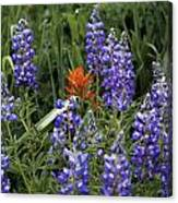 Lupine With Paintbrush 2 Canvas Print